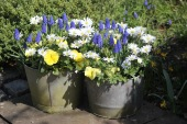 Fill old metal pails with spring colour