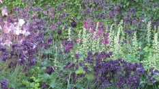 Tellima drifts with aquilegia