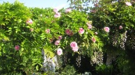 Climbing roses and wisteria provide interest at eye level