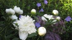 Fragrant Duchesse de Nemours peony with geranium and alliums