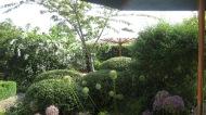 Globe shaped alliums against shaped evergreen shrubs