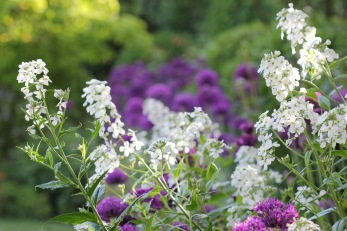 Alliums and hesperis matronalis