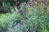 Alchemilla mollis with geraniums and centranthus in front of rose Reine des Violettes
