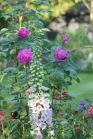 Rosa Reine des Violettes with digitalis